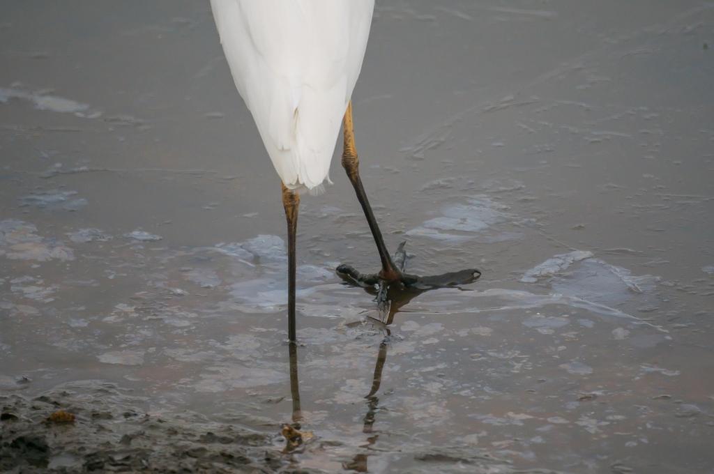 氷を踏む鷺科 (10Pic)