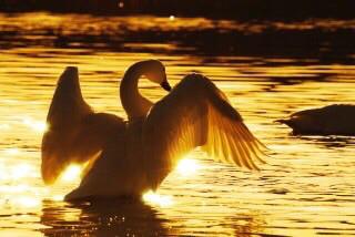 swan01.jpg