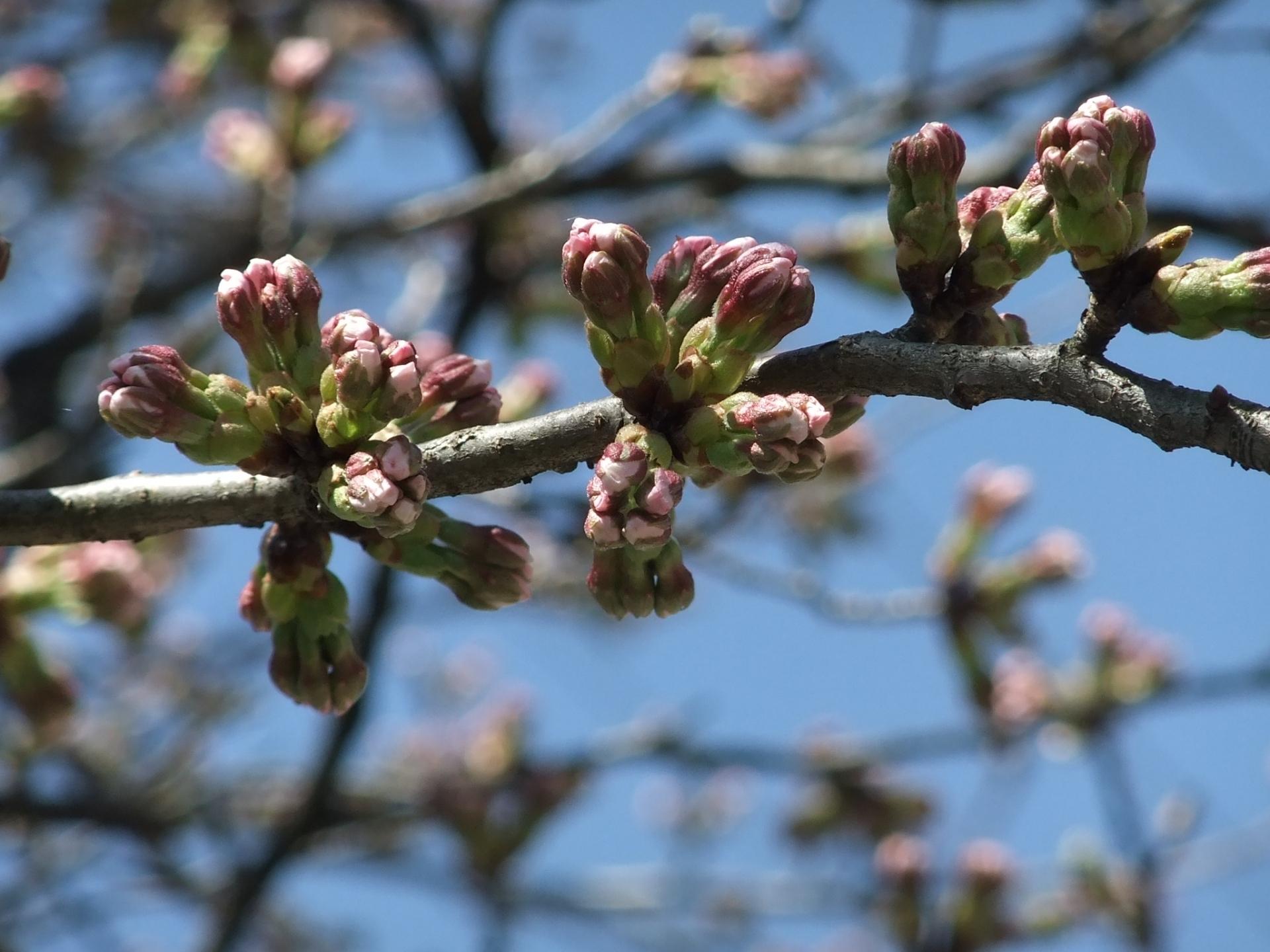 桜つぼみピンク