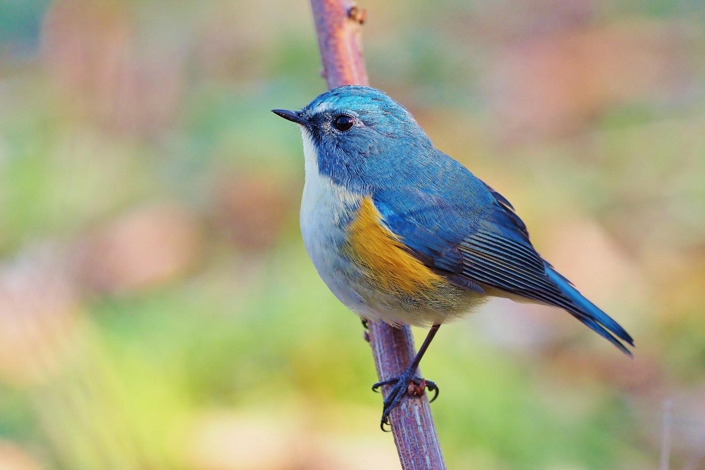 オーストラリアの野鳥一覧 - Lis...