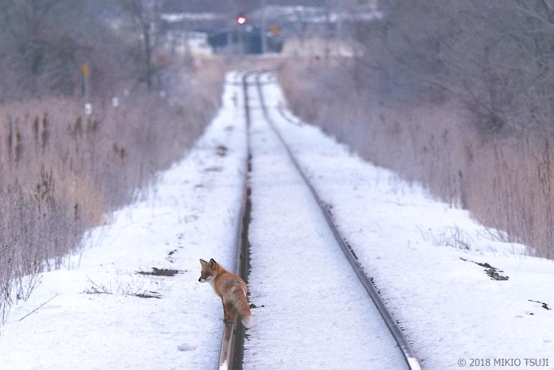 絶景探しの旅 - 0496 北の線路を行くキタキツネ (北海道 釧路市)