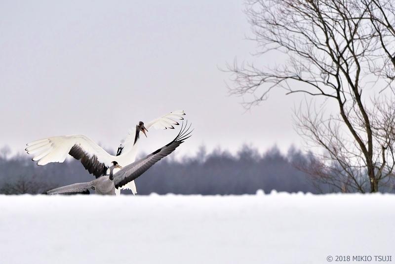 絶景探しの旅 - 0500 激しくクロヅルを威嚇するタンチョウ (北海道 鶴居村)