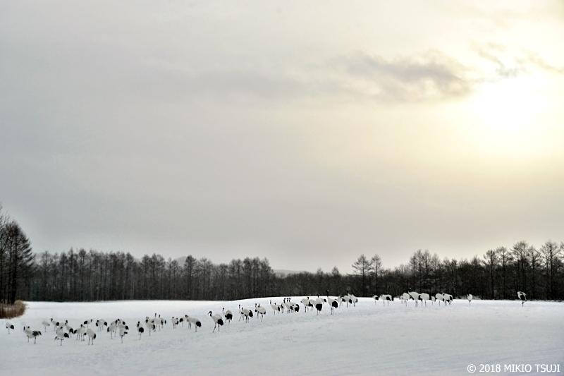 絶景探しの旅 - 0501サンクチュアリを分断 一列に並ぶタンチョウ (北海道 鶴居村)