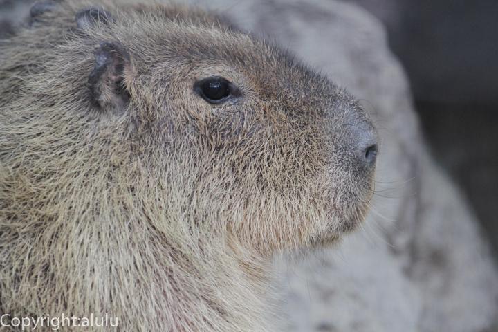 福山市立動物園 カピバラ 画像