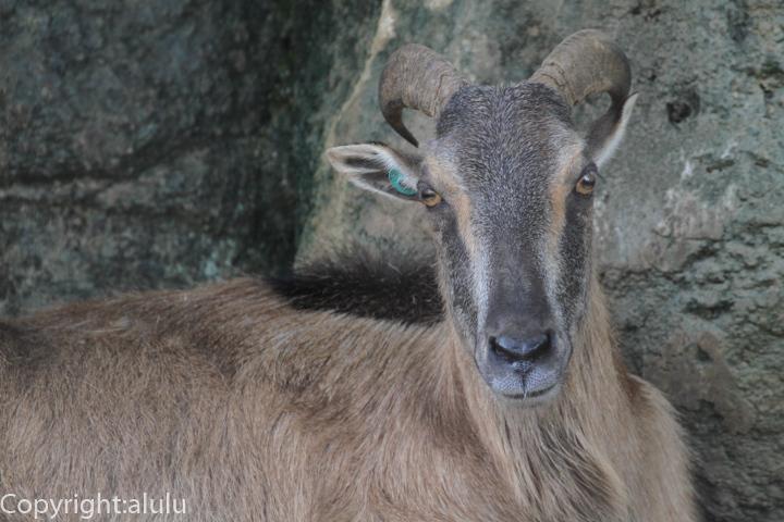 ヒマラヤタール 動物写真