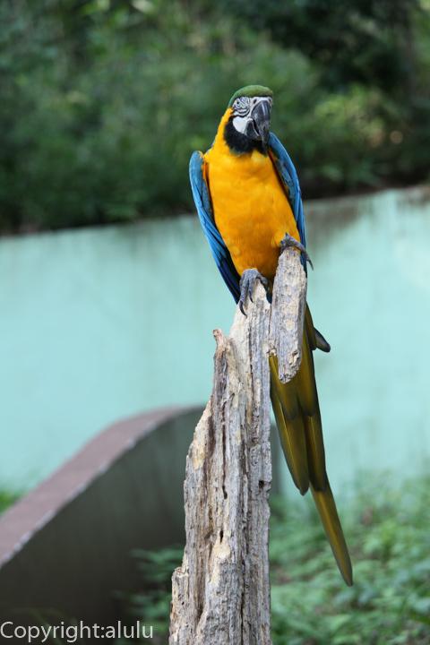 多摩動物公園 ルリコンゴウインコ 画像