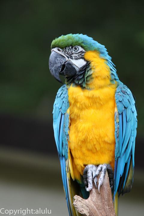 ルリコンゴウインコ 動物写真