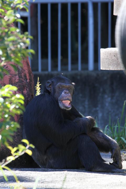 浜松市動物園 チンパンジー