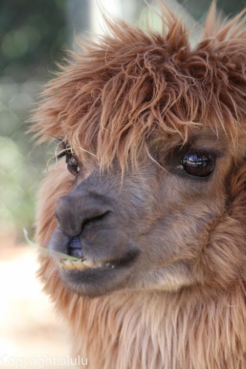 埼玉県こども自然動物公園 アルパカ 画像