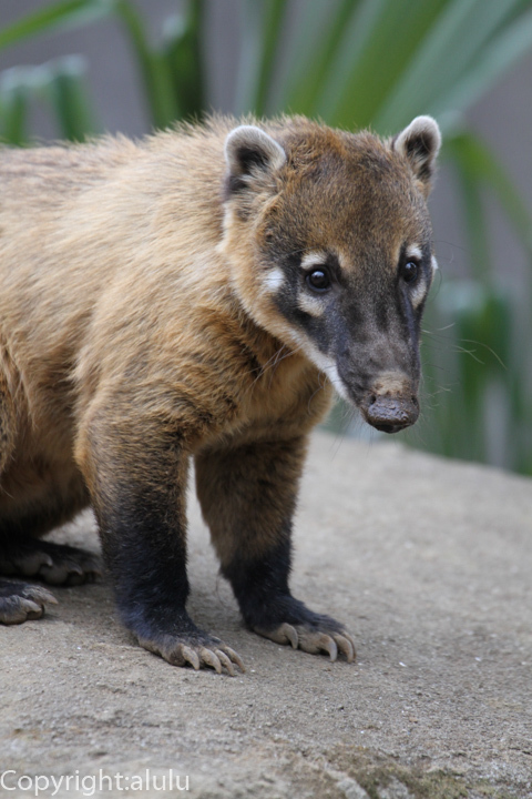 アカハナグマ 動物写真