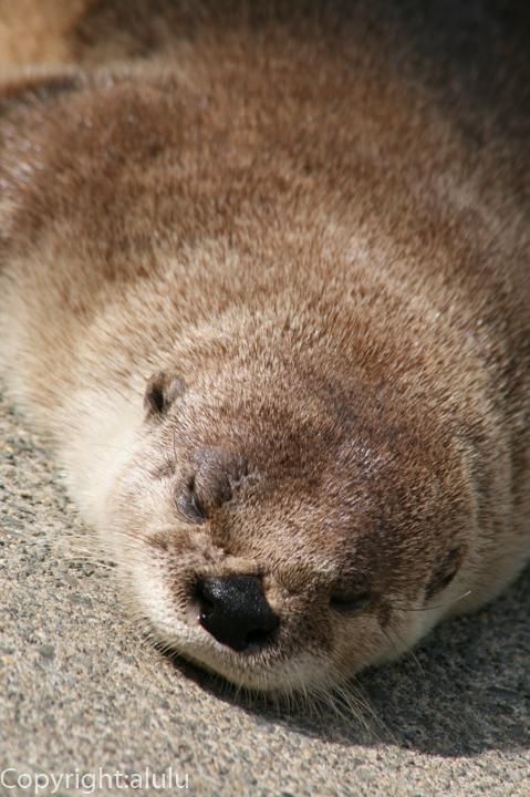 浜松市動物園 カナダカワウソ 画像
