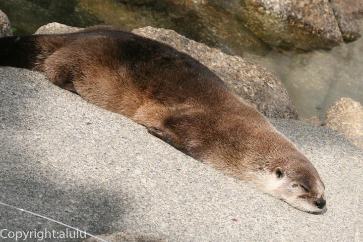 浜松市動物園 カナダカワウソ