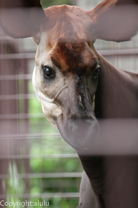 日本 国内 動物園 オカピ