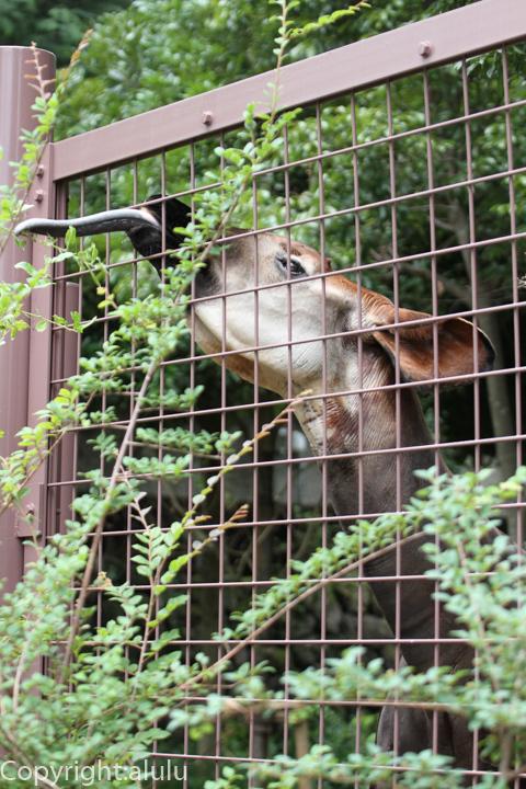 上野動物園 オカピ