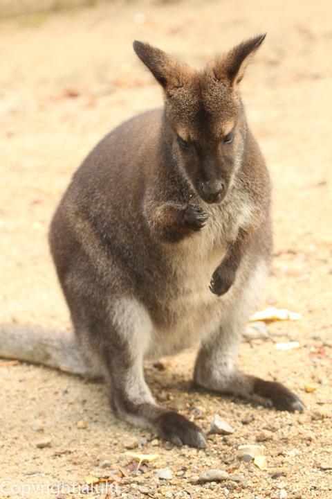 五月山動物園 ベネットアカクビワラビー